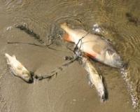 отруєння риби