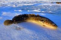 Ловля миня з льоду