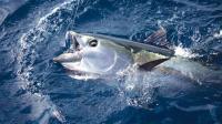 Рекордний тунець