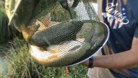 БЕЛЫЙ АМУР И КАРП - клев каждые 10 минут, вырвались на часик порыбачить