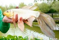 В Англії рибалка зловив золоту рибку