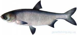 Товстолоб білий (Hypophthalmichthys molitrix)