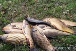 Мамалига для рибалки