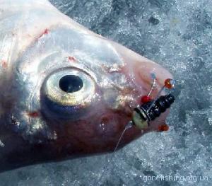 Риба зловлена на медузу-грибок