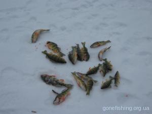 Окунь на зимовій рибалці
