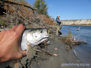 Марафон з пошуку ефективного атрактанту для ловлі хижої риби