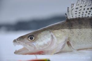 Вибір уловистої приманки для ловлі судака взимку