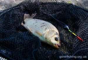 Перша карасина рибалка сезону відкритої води